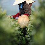Where Does Tea Come From?