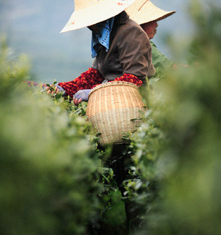 picking tea Where Does Tea Come From? EAT LOVE SAVOR International luxury lifestyle magazine and bookazines