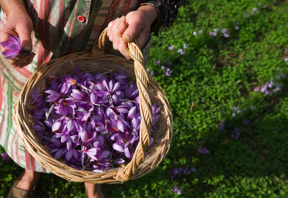 harvesting saffron Discover: Saffron ~ A Spicy Luxury EAT LOVE SAVOR International luxury lifestyle magazine and bookazines