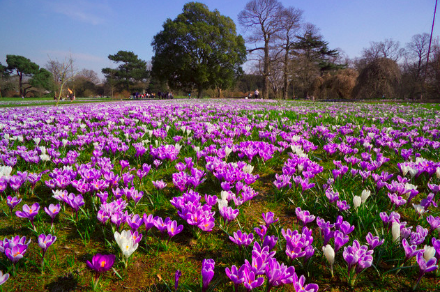 Crocuses at Kew Gardens