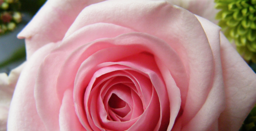 Fresh Roses With Water Fresh Pink Rose