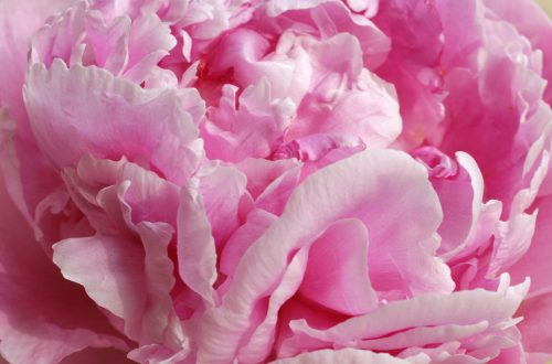 pink peony close up For the Love of Peonies - EAT LOVE SAVOR International luxury lifestyle magazine and bookazines