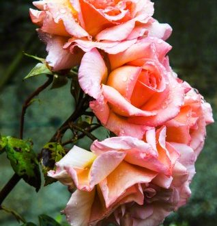 roses For the Love of Rose Water: Age Old Culinary, Wellness and Beauty Water - EAT LOVE SAVOR International luxury lifestyle magazine and bookazines