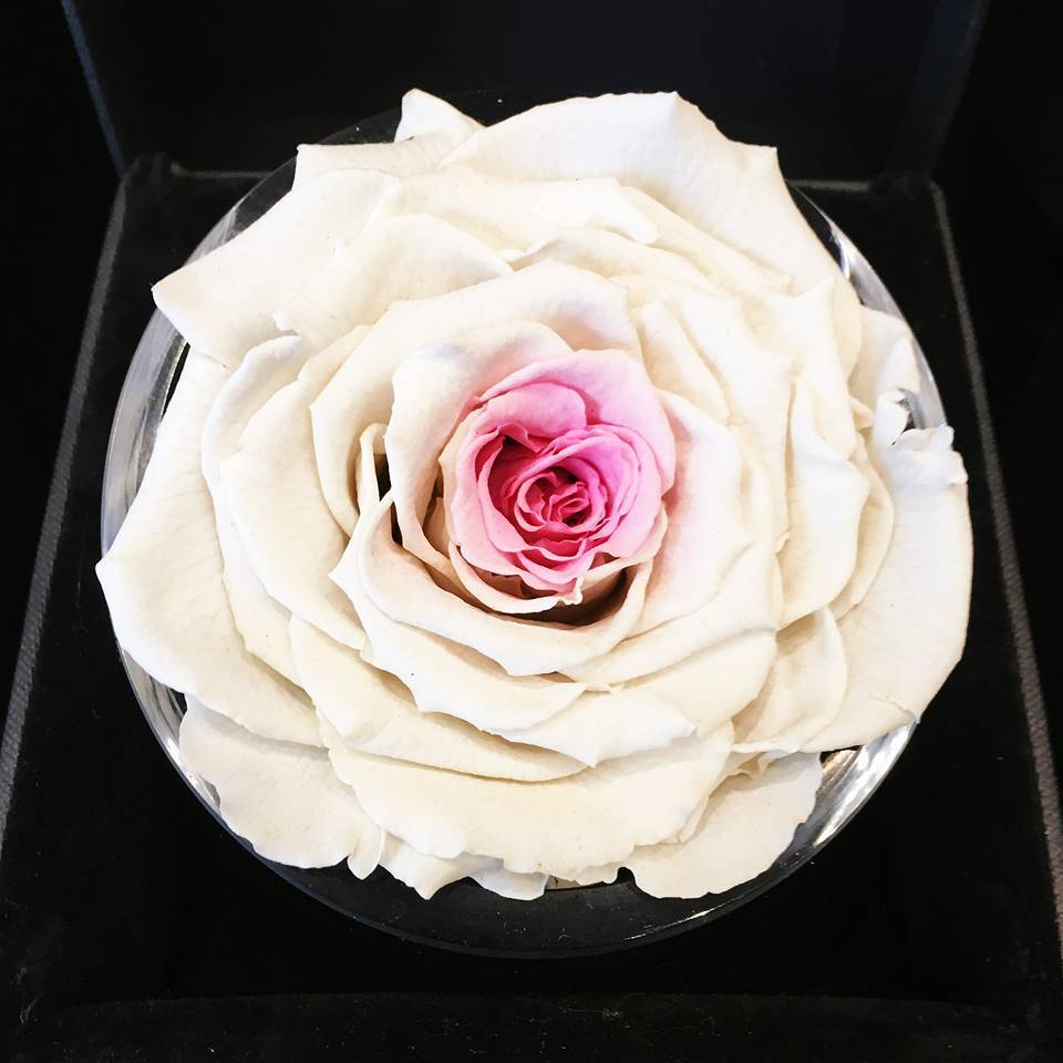 single white pink onlyroses